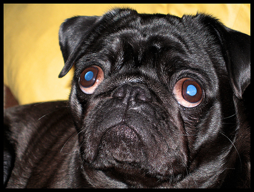 http://portraitxpress.files.wordpress.com/2008/10/pug-eyes-2.jpg